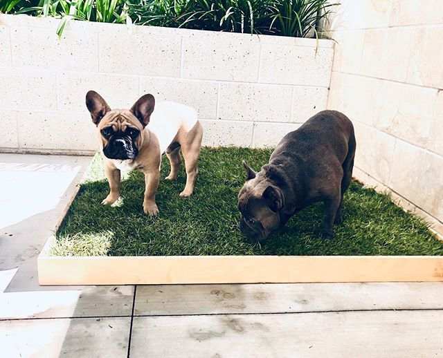 Dexter Junior Know How To Party Using The Urban Dog Solutions Real Grass Patch Custom Size Dogs Animals Dexter