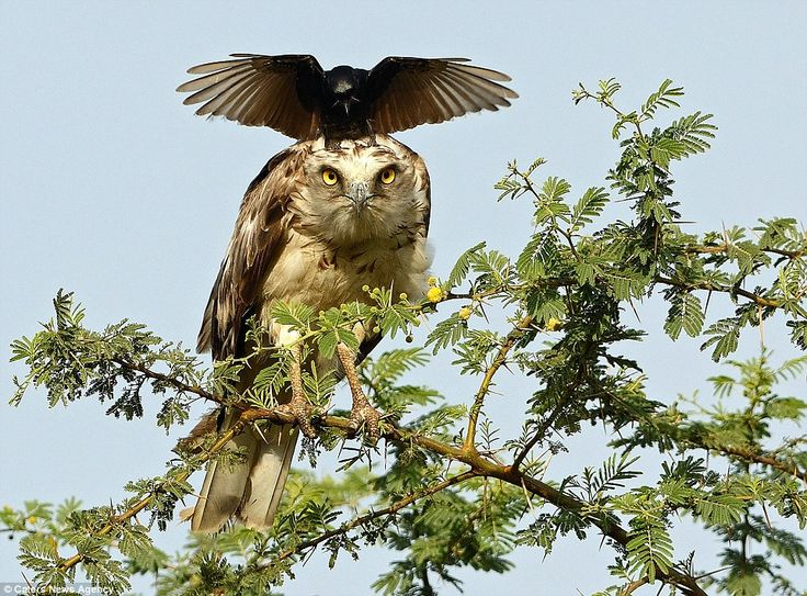 The eagle looks as though it is staring straight down the camera lens as the crow plants i...