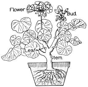 Parts of a flower coloring page | Parts of a flower ...