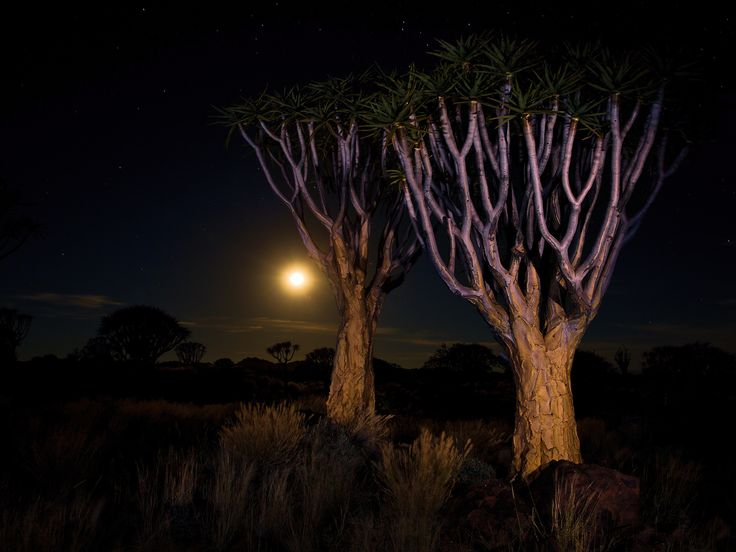 Quivertree Moon Scape - It is one of the best known desert plants in southern Africa, and arguably the most striking floral species in its native landscape. As a result of its beauty, the quiver tree has been named the national plant of Namibia.