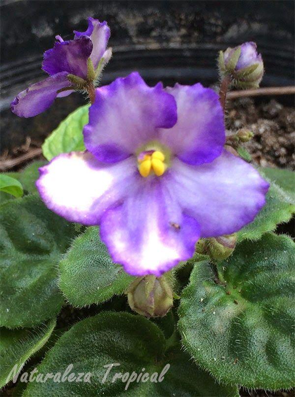 Variedad matizada de la flor violeta africana, género Saintpaulia