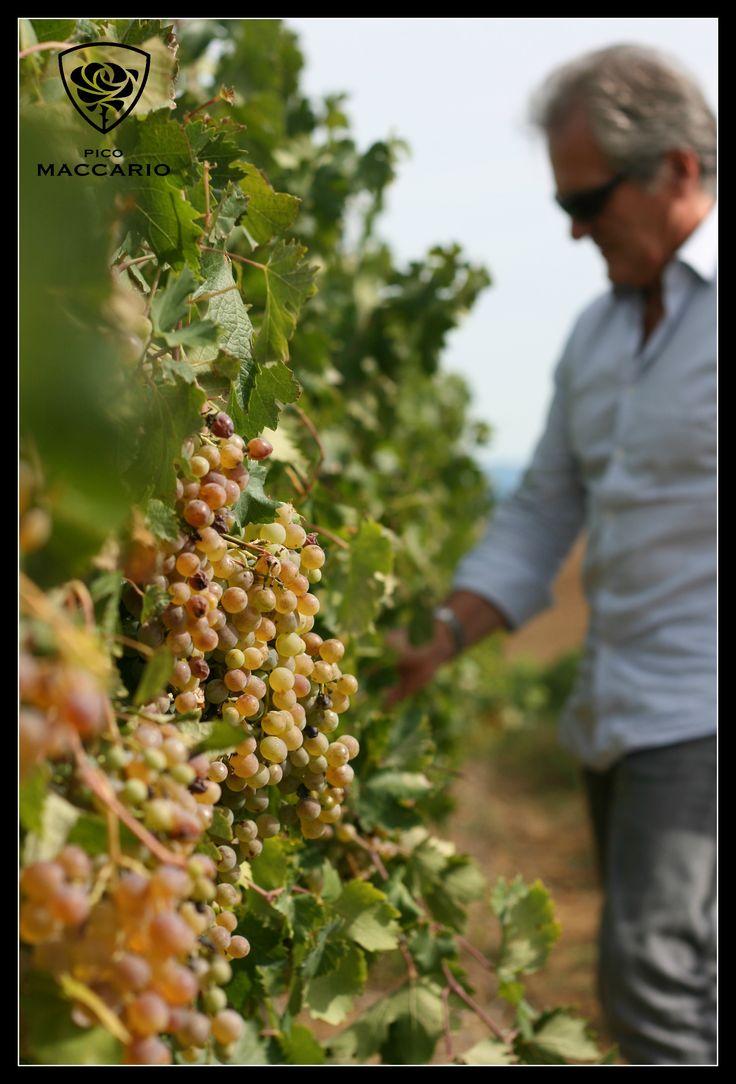 #vineyard #favorita #grapes #whitewine #readytobeharvest #vintage 2013
