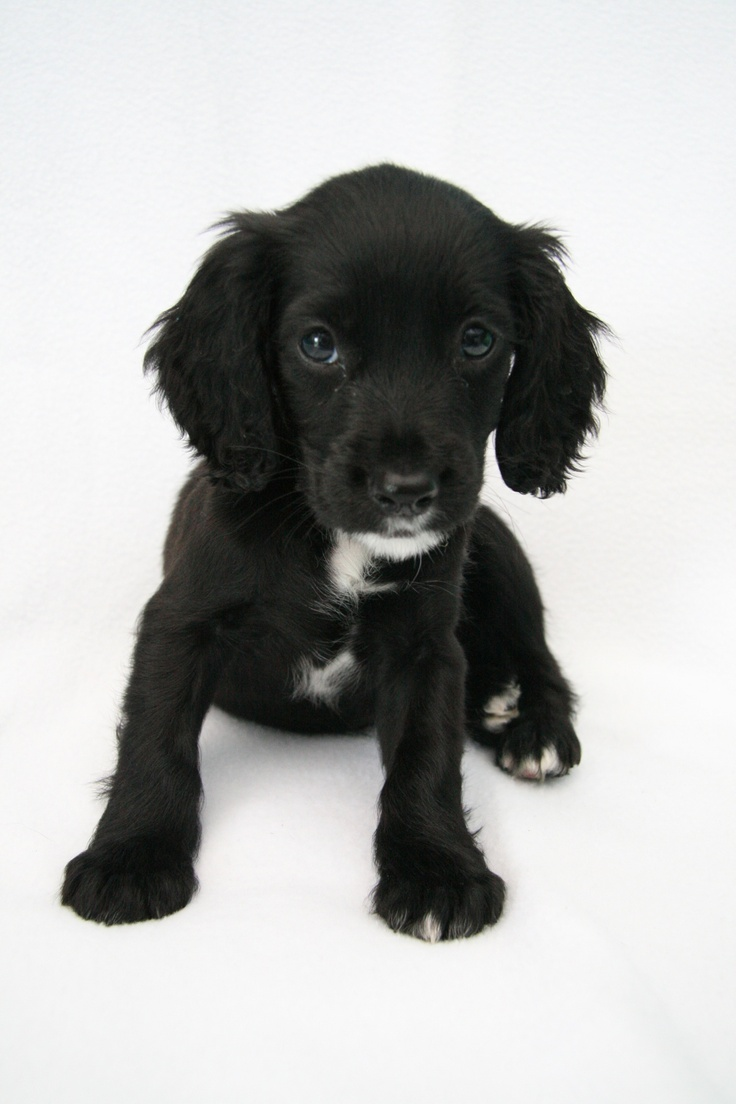Sprocker spaniel at 9 weeks old