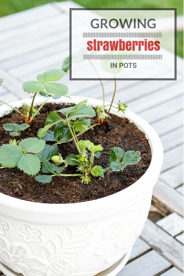 25+ Beautiful Grow Strawberries Ideas On Pinterest | How To Grow  Strawberries, Strawberry Plant And Strawberry Planting