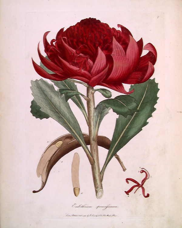 An old colour drawing of a single red flowerhead on a stem. This is an image of a print of a hand coloured engraving by James Sowerby (1757-1822), based on drawing nominally by John White but probably by the convict artist Thomas Watling. It appeared as Tab. IV in James Edward Smith's 1793 A Specimen of the Botany of New Holland. The plant depicted was then known as Embothrium speciosissimum, but is now Telopea speciosissima (Waratah).