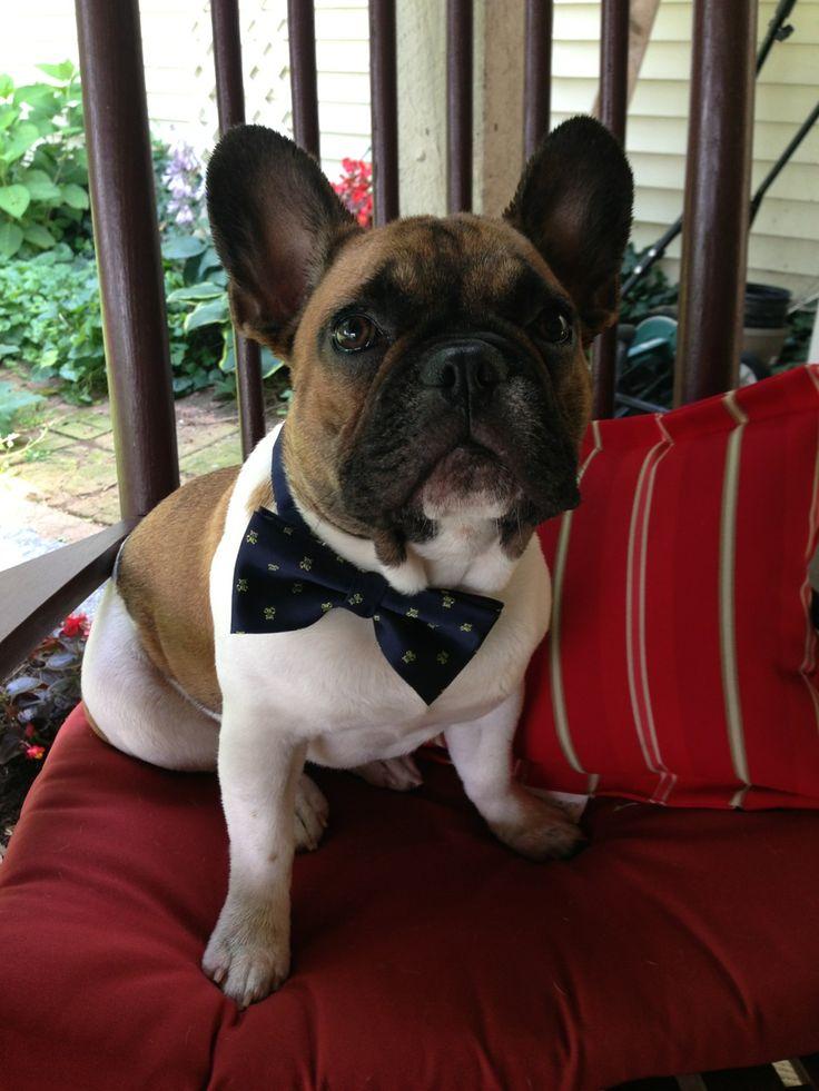 Mini French Bulldog