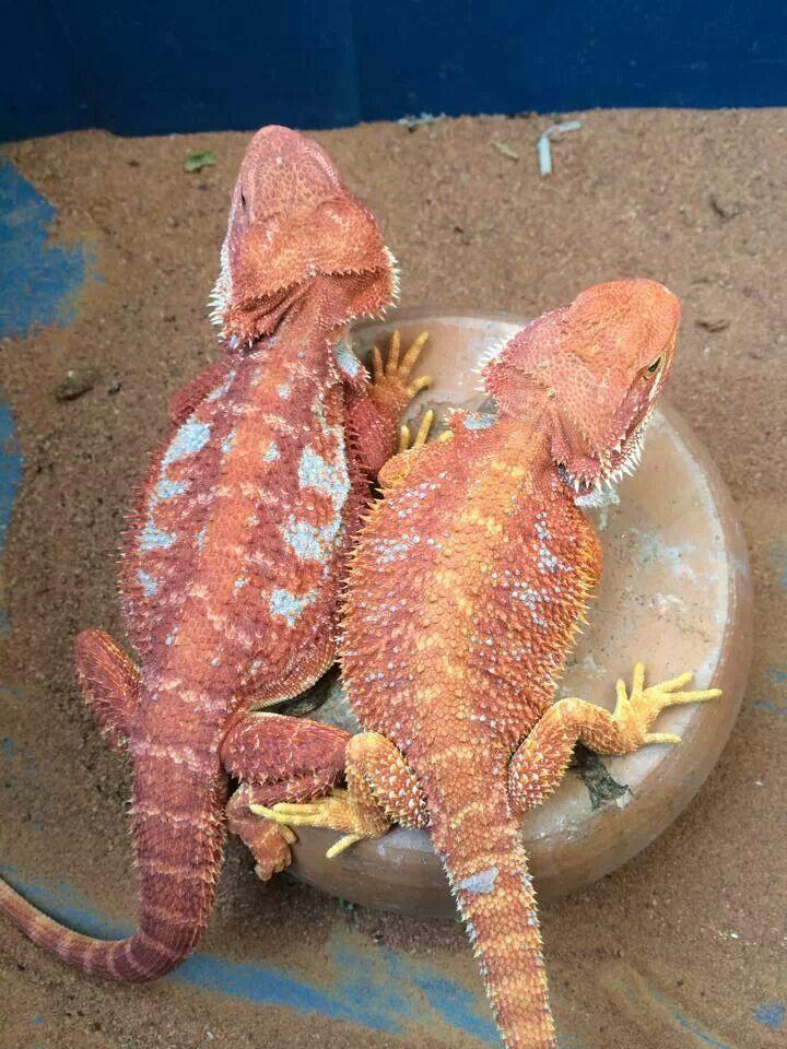 Cho Huai Reptile
