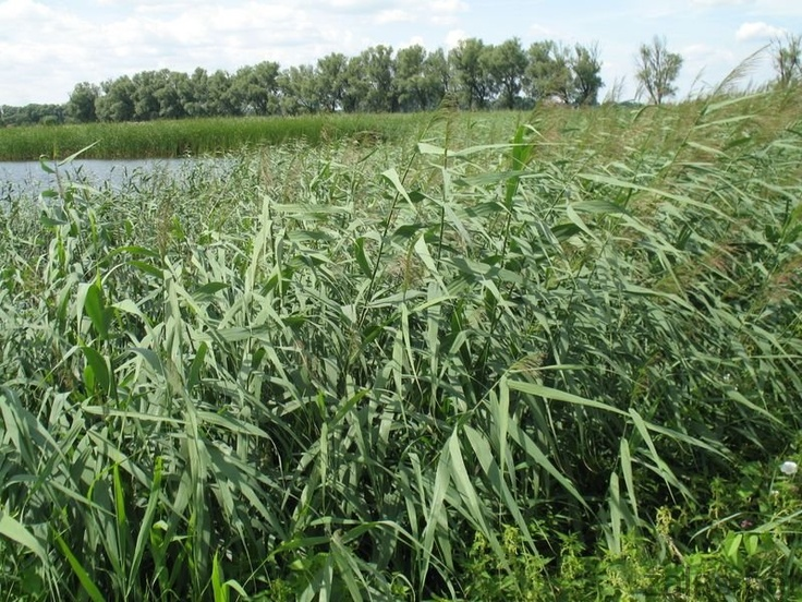 47 best images about phragmites on pinterest for Recommended pond plants