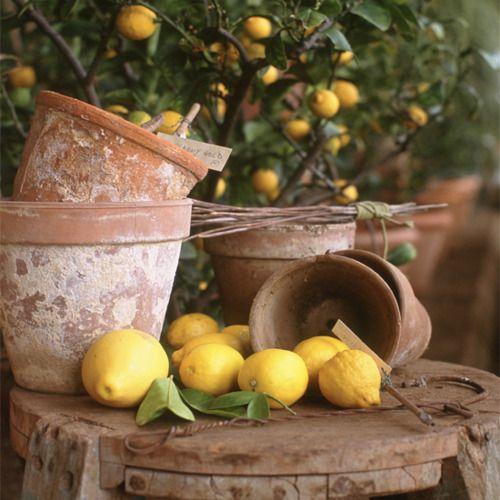 LemonTerra Cotta, Terracotta Can, Gardens, Theme Wedding, Blue Flower, Pots Sheds, Lemon Yellow, Lemon Trees, Clay Pots