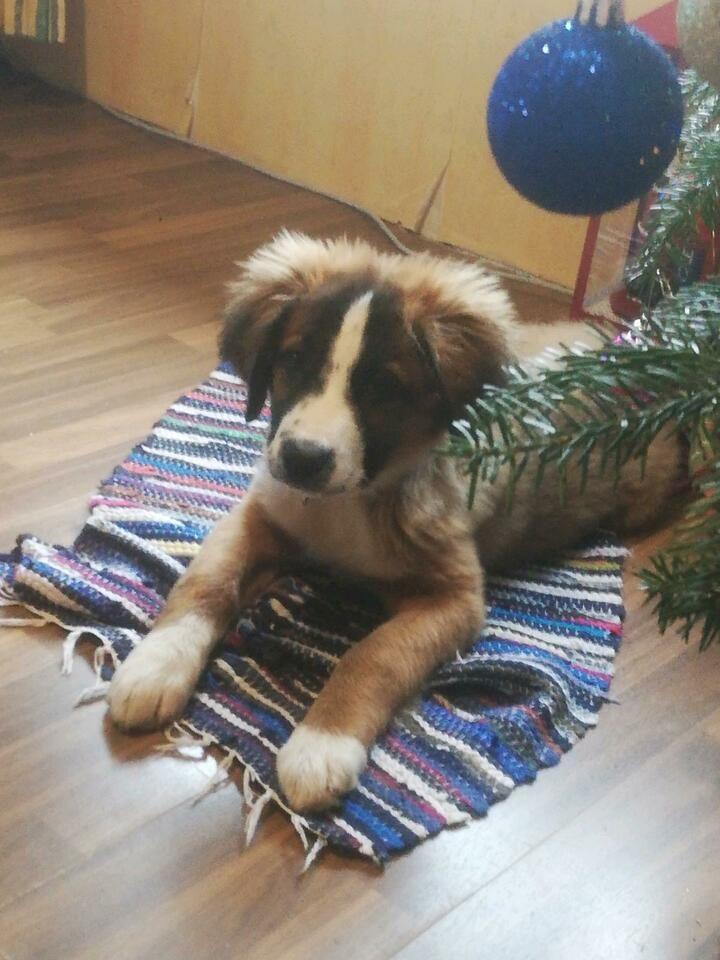Bella Bernhardiner Mix In Wildeck In 2020 Bernhardiner Hunde Welpen