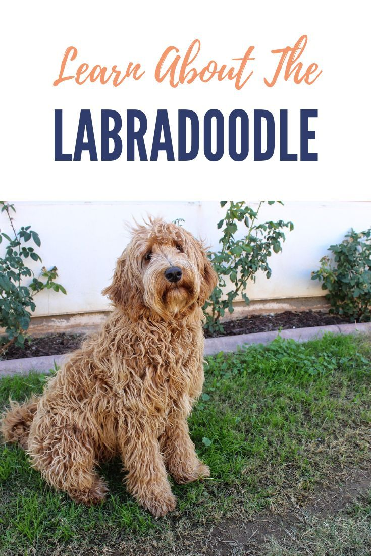 Labradoodle Breed Information With Images Labradoodle Dogs Poodle Mix Breeds Doodle Dog Breeds