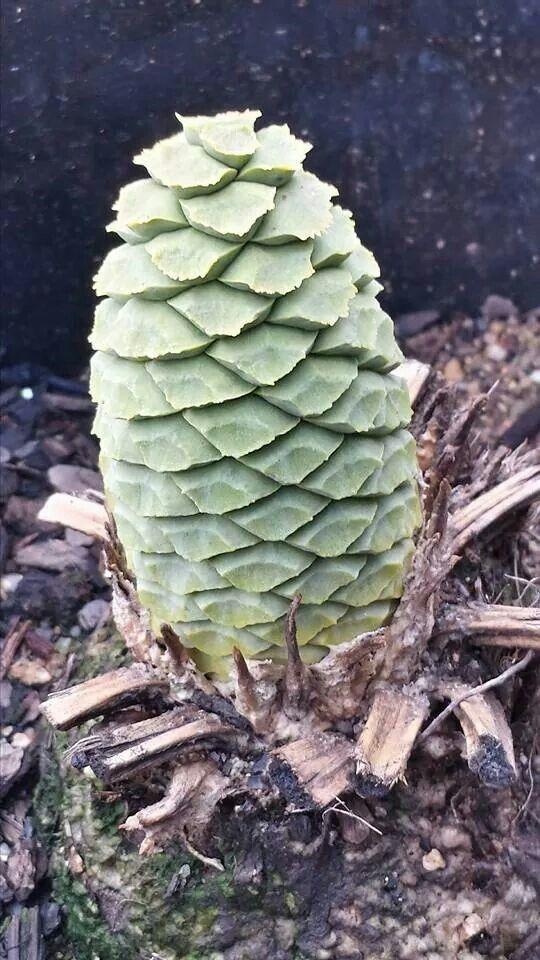 Caffer cone