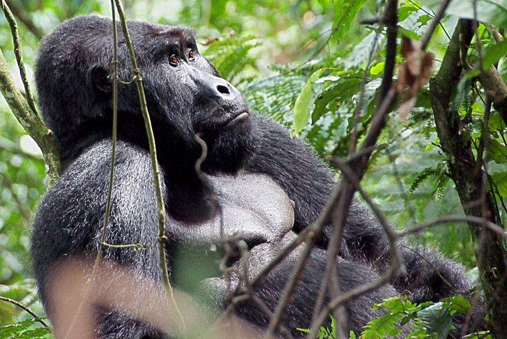 """""""Afrikas perle""""- Uganda byder på en unik mangfoldighed af dyreliv, naturlige skønhed og venlige indbyggere, alle sammen med til at gøre landet til en afrikas absolutte skjulte perler. Denne tur inkluderer de indlysende attraktioner, så som trekking i oprindelige regnskov for at se vilde gorillaer og chimpanser, samt udforskning af de enorme vandveje og mystiske landsbyer."""