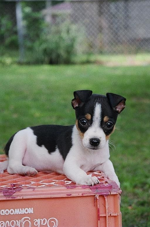 Rudy the cute Rat Terrier puppy