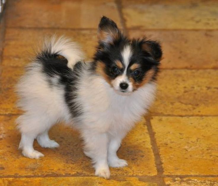 Dog Breed That Stays A Puppy