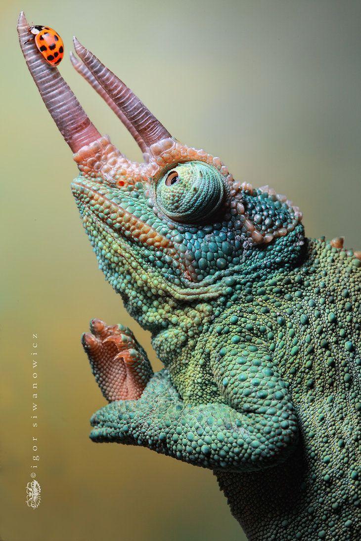 Chameleon with ladybug - Igor Siwanowicz | Reptilia ...