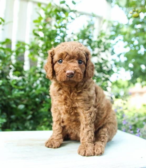 Katie Poodles Mini Puppy For Sale In Lewisburg Pa Lancaster