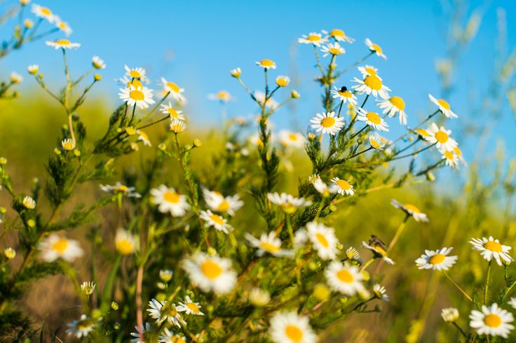 Chamomile - A large bunch of chamomile flowers growing on the side of the dirt road.