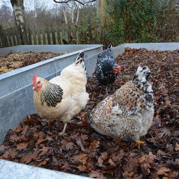 Køkkenhaven i januar del 2 handler om høns i køkkenhaven - og hvor nyttige de kan være. Sæt hønsene i arbejde med at gøde, skrabe og spise skadeinsekter