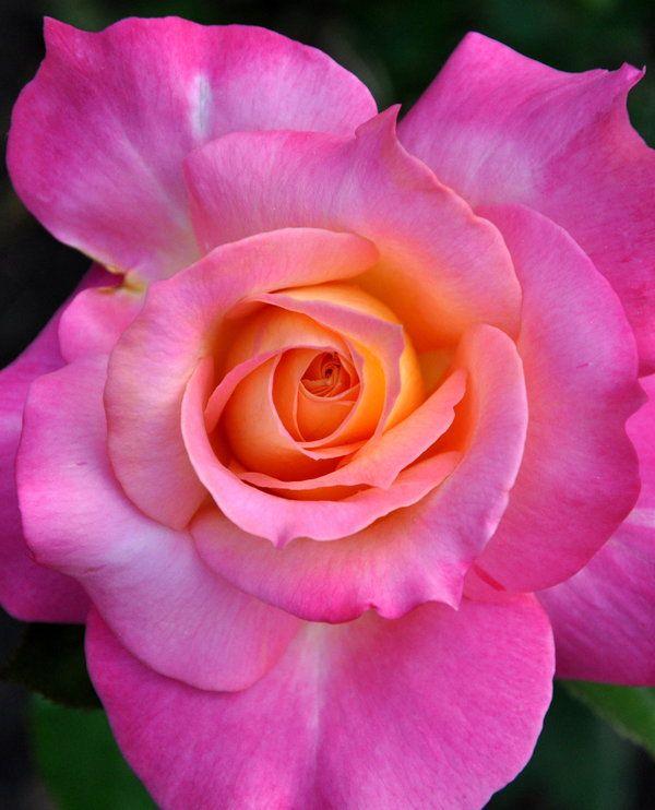 ~~Neon ~ Pink Tropicana Rose by *BeachGirlNikita~~