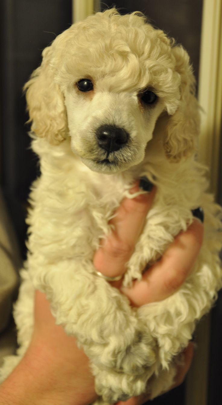 Standard poodle haircuts or of unless soft haircuts standard poodle - Miniature Poodle Puppies Poodle Groomingpoodle