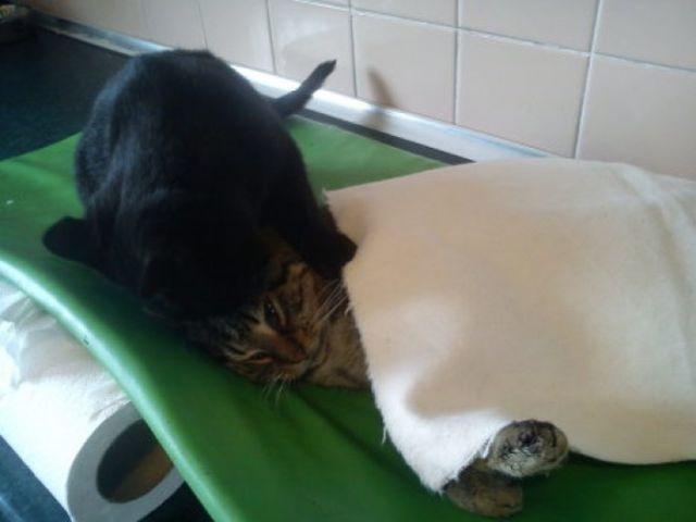 Rademenes egy fekete cica, aki egy lengyelországi állatközpontban él, és odaadóan gondoskodik a műtéten átesett, lábadozó, vagy beteg társain.