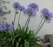 Agapanthus_umbellatus