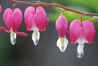 Shade garden inspiration: Dicentra (bleeding hearts). Blooms early spring, goes dormant later in summer (so plant something pretty near it)