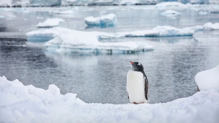 PHOTO: A Gentoo Penguin is seen in Antartica.