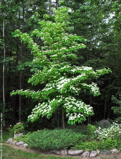 Cornus kousa chinensis 4 6h 3 5 b bloei 6 mineralenpomp mn for Tiny ornamental trees