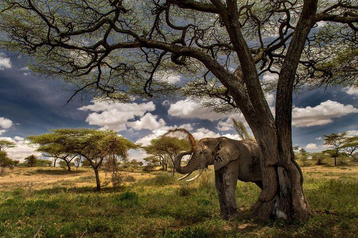 """""""Elephant's life"""" in Tanzania ©Roie Galitz"""