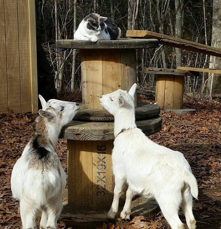 778 Best Goat Farm Images On Pinterest: 17 Best Ideas About Nigerian Dwarf Goats On Pinterest