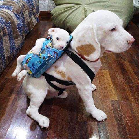 Um cão  carregando  um cão   bebê...