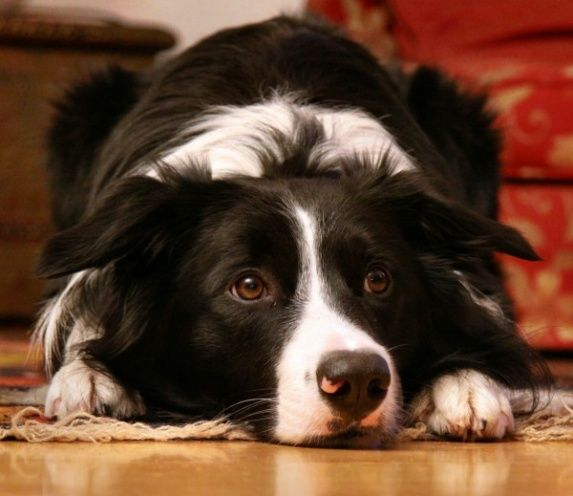 12 Signs You Are A Crazy Border Collie Person