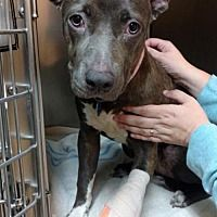 Pictures of Stormy a American Pit Bull Terrier for adoption in New York, NY who needs a loving home.