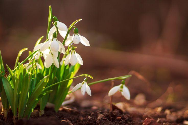 Snowflower - Kicsi hóvirágok