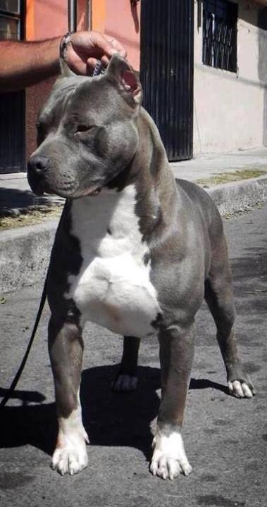 blue nose pit bull