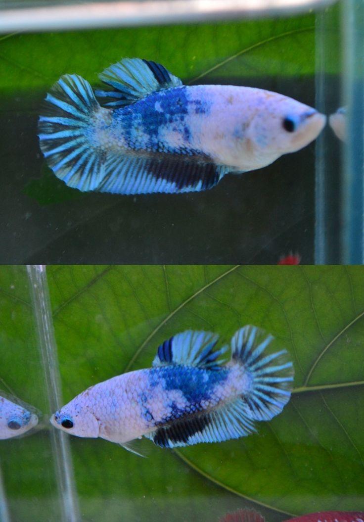 969 best fishees betta koi goldfish images on pinterest for Butterfly betta fish