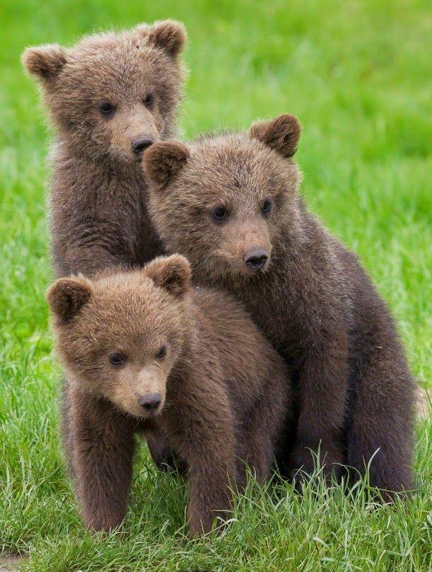 чтобы детеныши белого и бурого медведя фото его месте образовалась