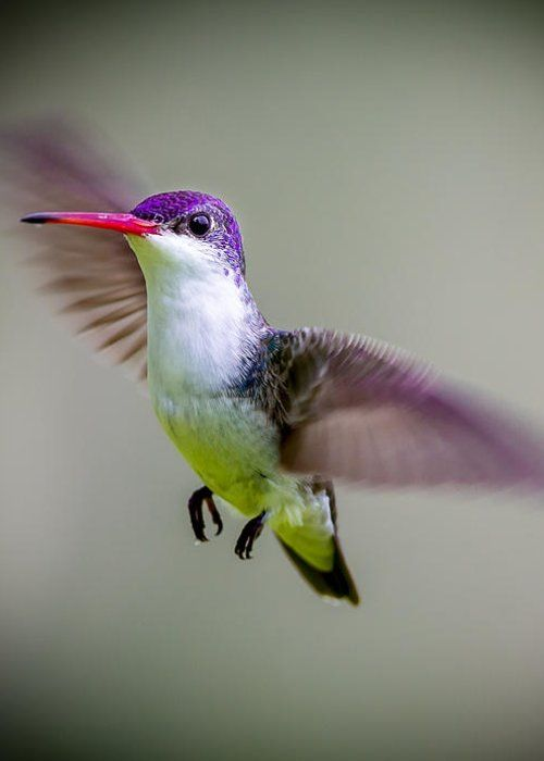 Violet Crowned Hummingbird by Denise Campbell