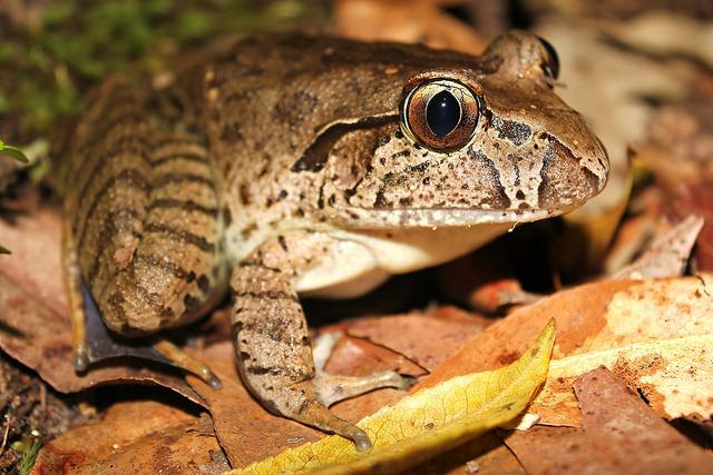 Giant Barred Frog (Mixophyes iteratus) .  It is one of the largest Australian frog species and have been known to even eat bush rats. It dwells in flat sections of permanent rain forest streams as their tadpoles can take some times over a year to develop.