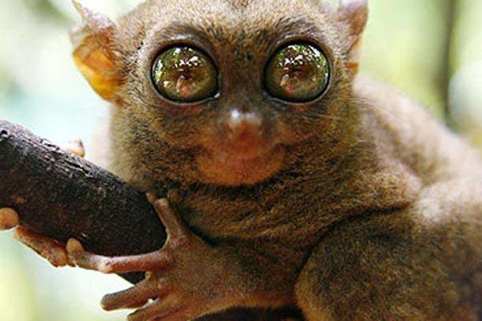 Tarsier  Filipinler'de yaşayan Tarsier'in gözleri beyinlerinden büyük. Yaklaşık 10 santim boyundaki Tarsier, bir insan eline rahatlıkla sığabilir.