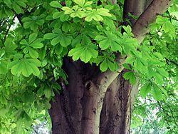 CASTAÑO DE INDIAS Aesculus hippocastanum - Wikipedia, la enciclopedia libre