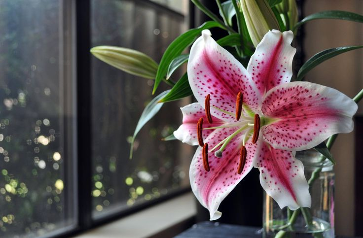 Resultado de imagem para лилия цветок