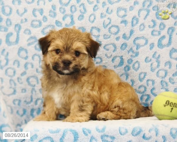 Morkie Puppy For Sale In Pennsylvania Morkie Puppies Morkie Puppies For Sale Morkie