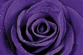Wild purple rose