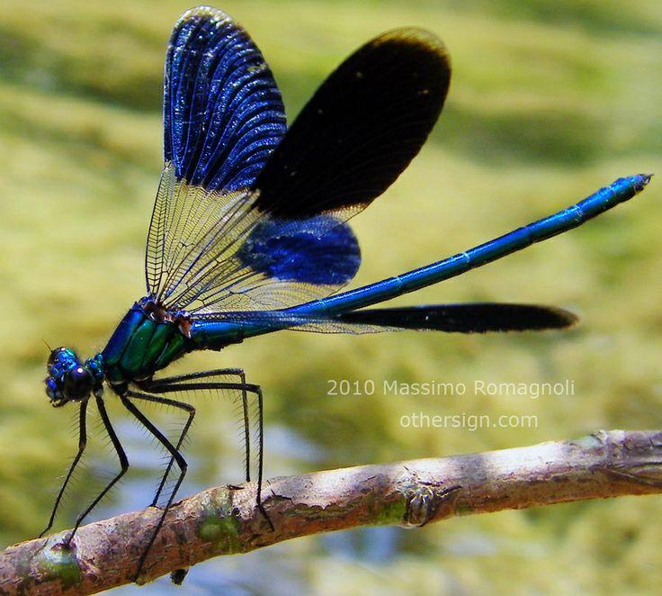 Male Calopteryx splendens dragonfly. Photo by Massimo Romagnoli near the Santerno River, Florence, Italy, 2010