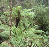 Rainforest,  Bruny Island