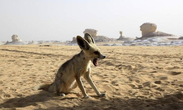 A Fennec fox, the smallest species of fox, in the White desert south-west of Cairo, Egypt