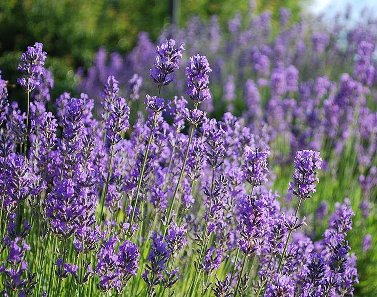 Lavandula angustifolia (Lavendel)